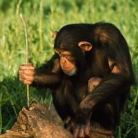 Chimpanzee Using Twig to Capture Termites